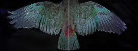 Fiona Pardington; Davis Kea Wings 2015