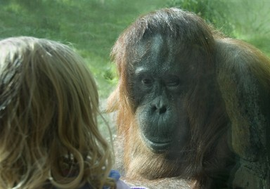 Auckland zoo. Only a layer of glass (see Orangutan's left arm) between
