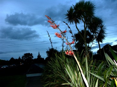 Zelda Wynn; WHAU FLAX BEAUTY; night time photo taken on a walk near Rata Street.New Lynn