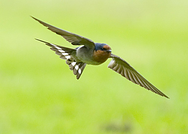 In some Asian countries, swallow is the bird of spring. They come back nesting and flying around after the winter. Lucky for us, I believe that we can see them in Auckland all year around? But we can see them more in the spring as the breeding season.