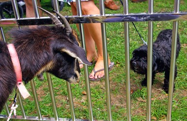 Goat and Dog stand off