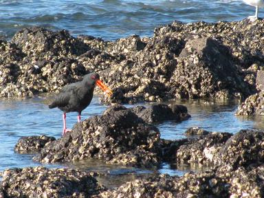 Oyster Catcher at Milford Beach