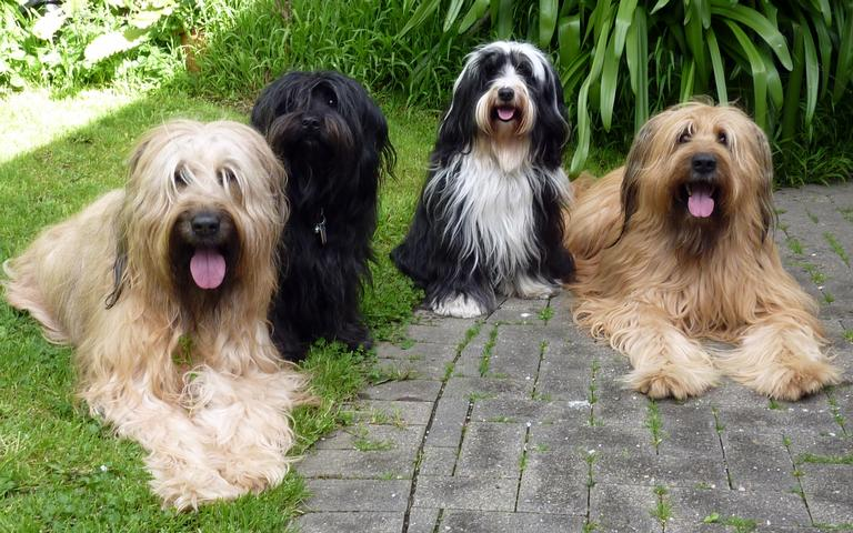 Briards and Tibetan Terriers