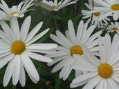 Stanhope Road School Students; Daisies; Taken in school grounds