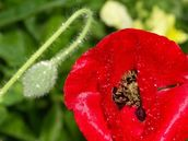 Zelda Wynn; SOLDIER POPPY; In my garden the soldier poppy reminds me of those who fought in the war..