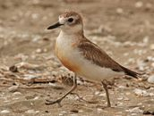Steve Harper;NZ Dotterel (Tuturiwhatu);Endangered, but too friendly for its own good