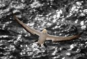 Steve Nicoll;Prepare For Landing; A different perspective on the Muriwai Gannets