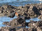 Lynda Webster; Oyster Catcher at Milford Beach