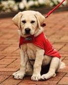 Brent Neighbour; Guide Dog Puppy; Puppy in training, Howick