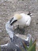 Lynda Webster; Feeding Time; Muriwai Gannet Colony