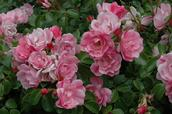 Stuart Weekes;summer arriving on the island 2;roses going crazy in the garden