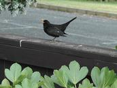 Stuart Weekes;summer arriving on the island;a blackbird declaring his territory